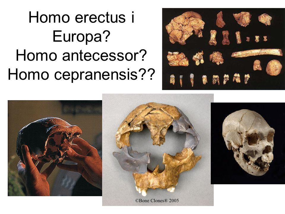 Homo erectus i Europa Homo antecessor Homo cepranensis