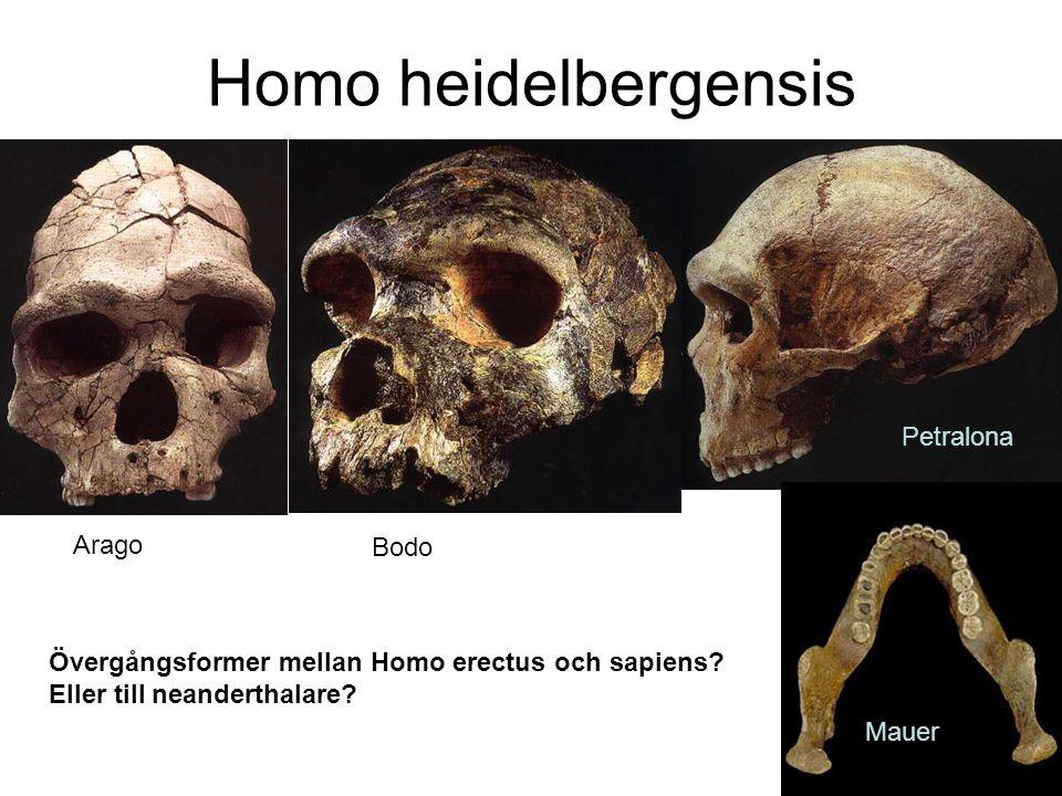 Homo heidelbergensis Petralona Arago Bodo