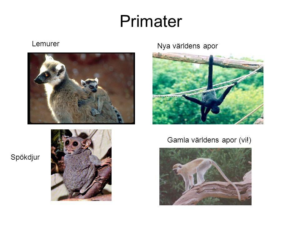 Primater Lemurer Nya världens apor Gamla världens apor (vi!) Spökdjur