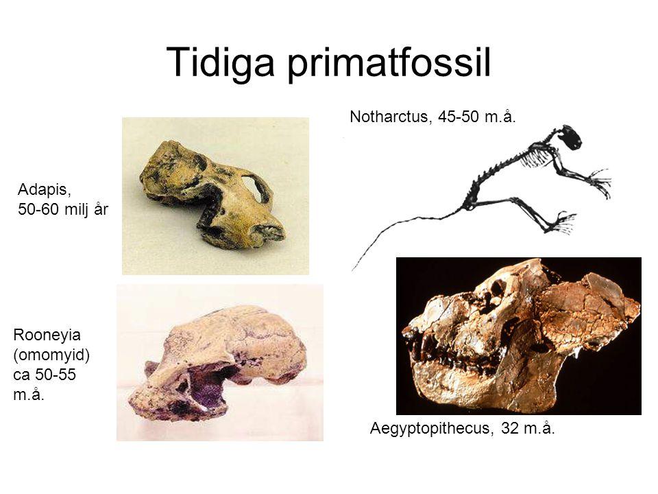 Tidiga primatfossil Notharctus, 45-50 m.å. Adapis, 50-60 milj år