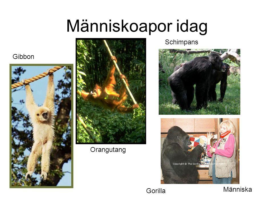 Människoapor idag Schimpans Gibbon Orangutang Människa Gorilla