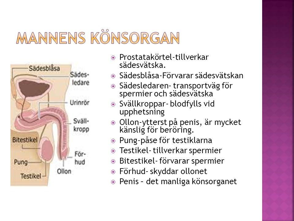 Mannens könsorgan Prostatakörtel-tillverkar sädesvätska.