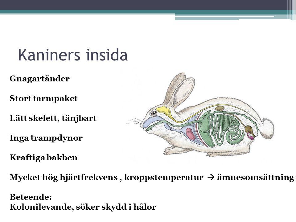 Kaniners insida Gnagartänder Stort tarmpaket Lätt skelett, tänjbart
