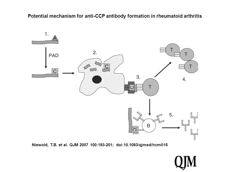 Potential mechanism for anti-CCP antibody formation in rheumatoid arthritis