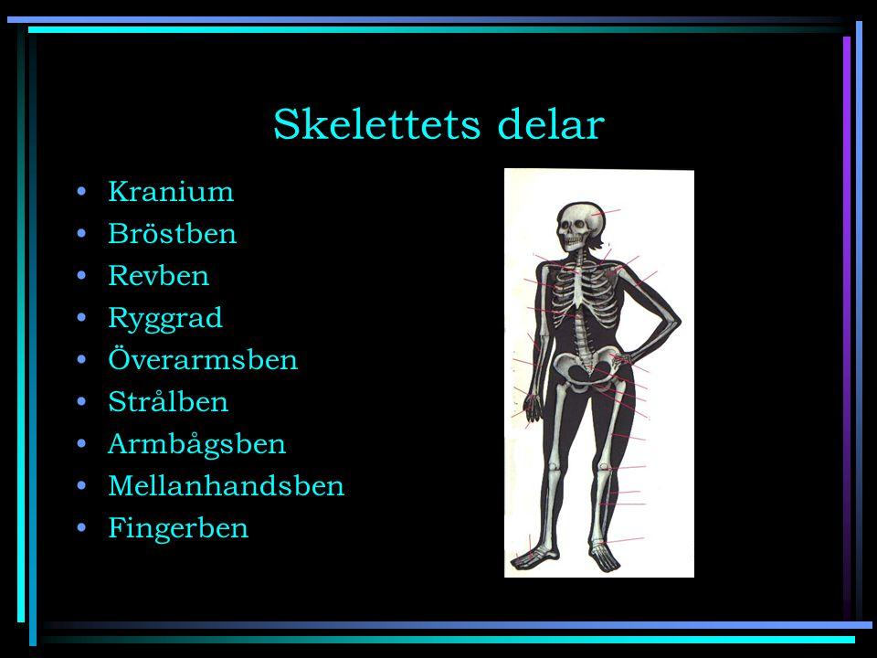 Skelettets delar Kranium Bröstben Revben Ryggrad Överarmsben Strålben