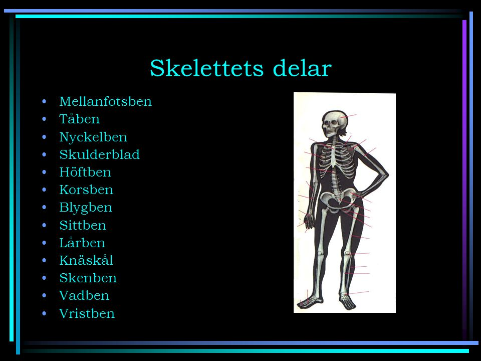 Skelettets delar Mellanfotsben Tåben Nyckelben Skulderblad Höftben