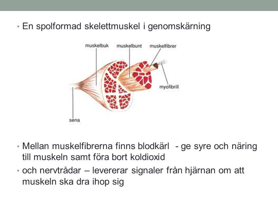 En spolformad skelettmuskel i genomskärning