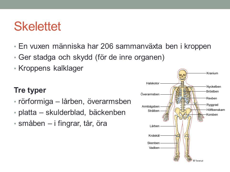 Skelettet En vuxen människa har 206 sammanväxta ben i kroppen