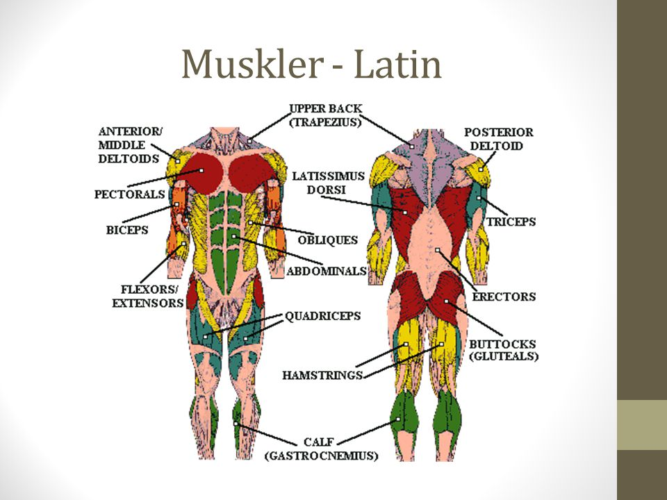Muskler - Latin