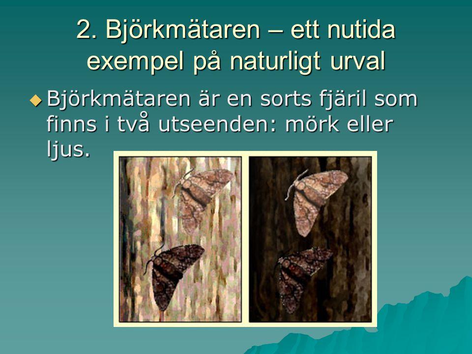 2. Björkmätaren – ett nutida exempel på naturligt urval