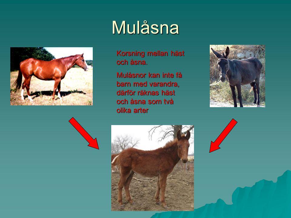Mulåsna Korsning mellan häst och åsna.