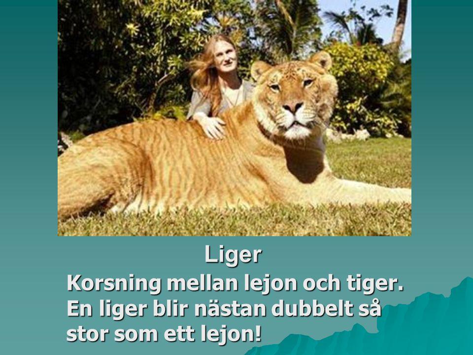 Liger Korsning mellan lejon och tiger. En liger blir nästan dubbelt så stor som ett lejon!