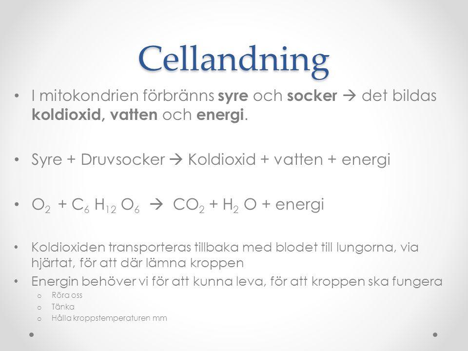 Cellandning I mitokondrien förbränns syre och socker  det bildas koldioxid, vatten och energi. Syre + Druvsocker  Koldioxid + vatten + energi.