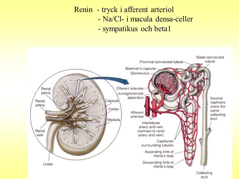Renin - tryck i afferent arteriol