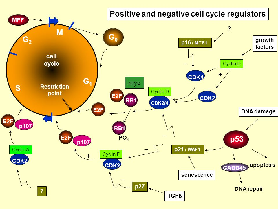 Positive and negative cell cycle regulators