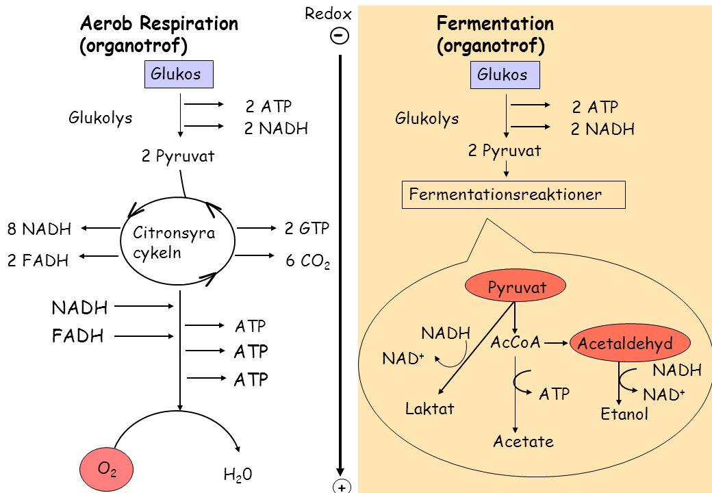 - V V V Aerob Respiration (organotrof) Fermentation (organotrof) NADH