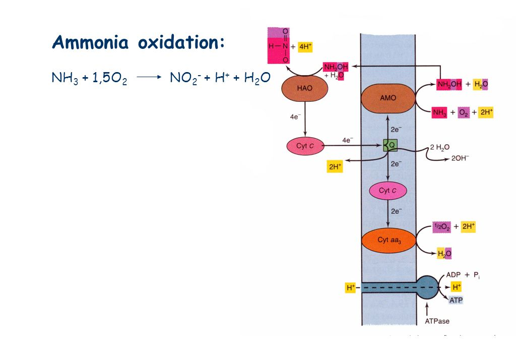 Ammonia oxidation: NH3 + 1,5O2 NO2- + H+ + H2O