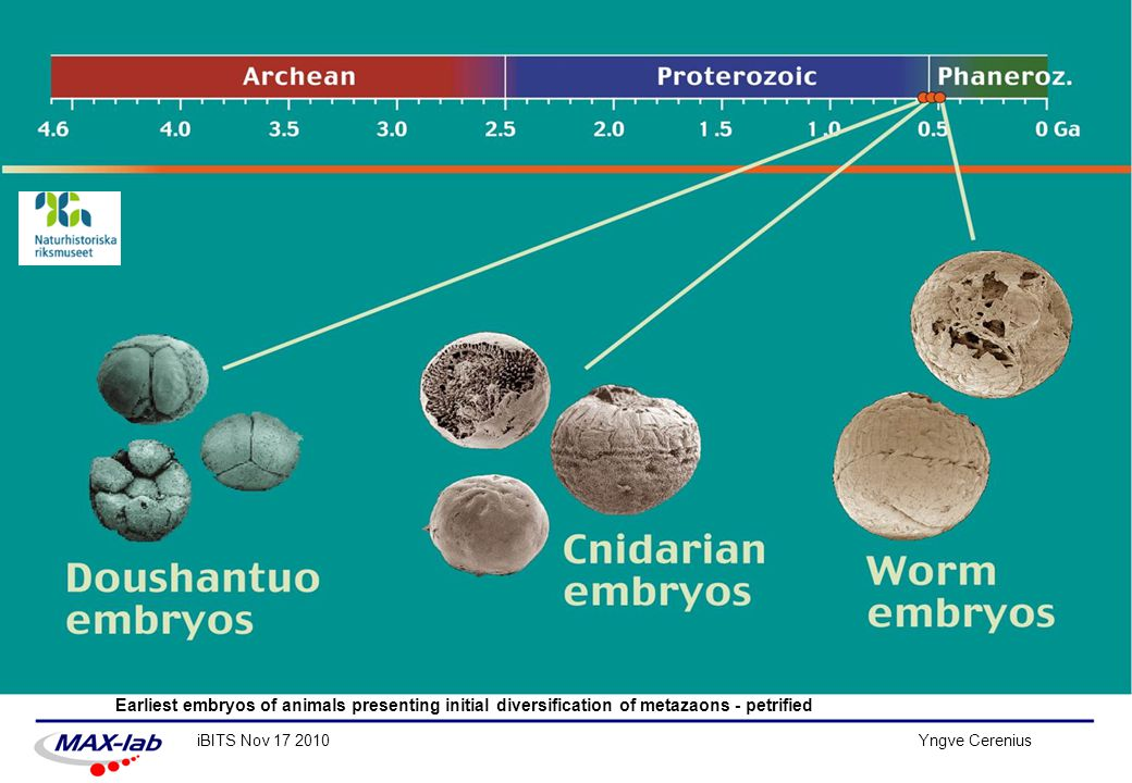 Earliest embryos of animals presenting initial diversification of metazaons - petrified