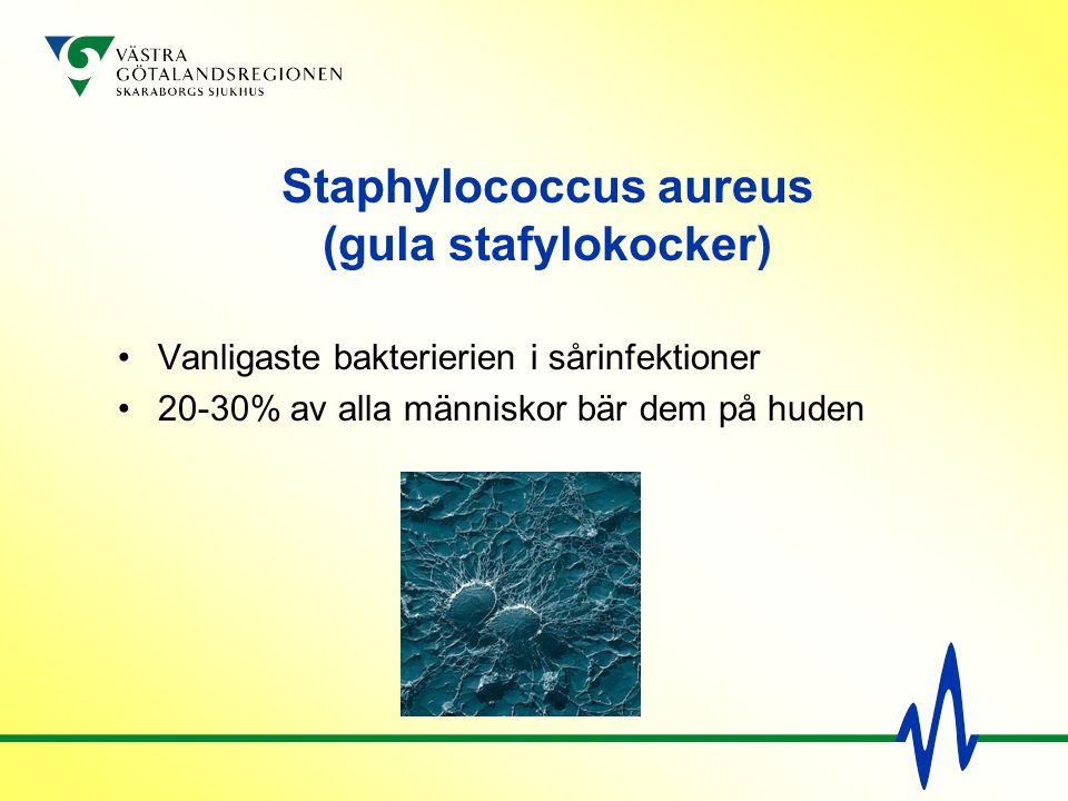 Staphylococcus aureus (gula stafylokocker)