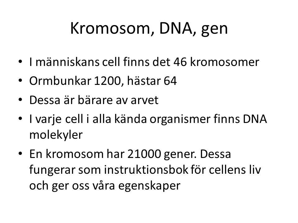Kromosom, DNA, gen I människans cell finns det 46 kromosomer