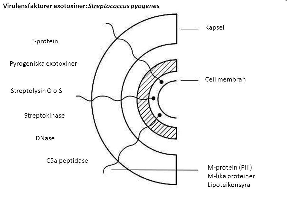 Virulensfaktorer exotoxiner: Streptococcus pyogenes