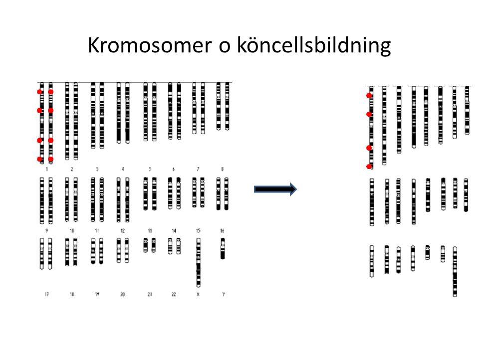 Kromosomer o köncellsbildning