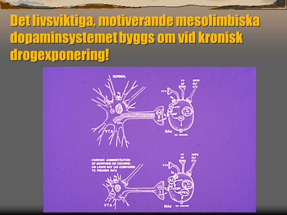 Det livsviktiga, motiverande mesolimbiska dopaminsystemet byggs om vid kronisk drogexponering!