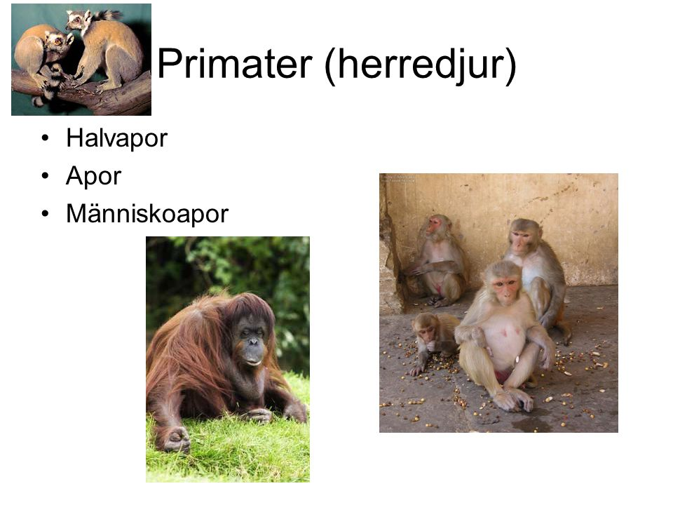 Primater (herredjur) Halvapor Apor Människoapor
