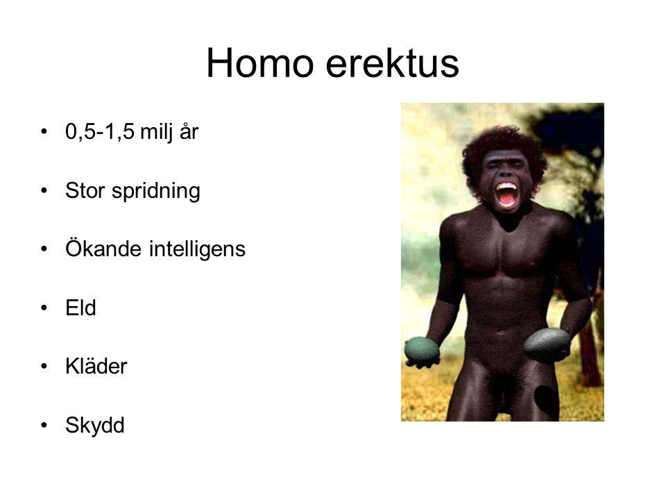 Homo erektus 0,5-1,5 milj år Stor spridning Ökande intelligens Eld