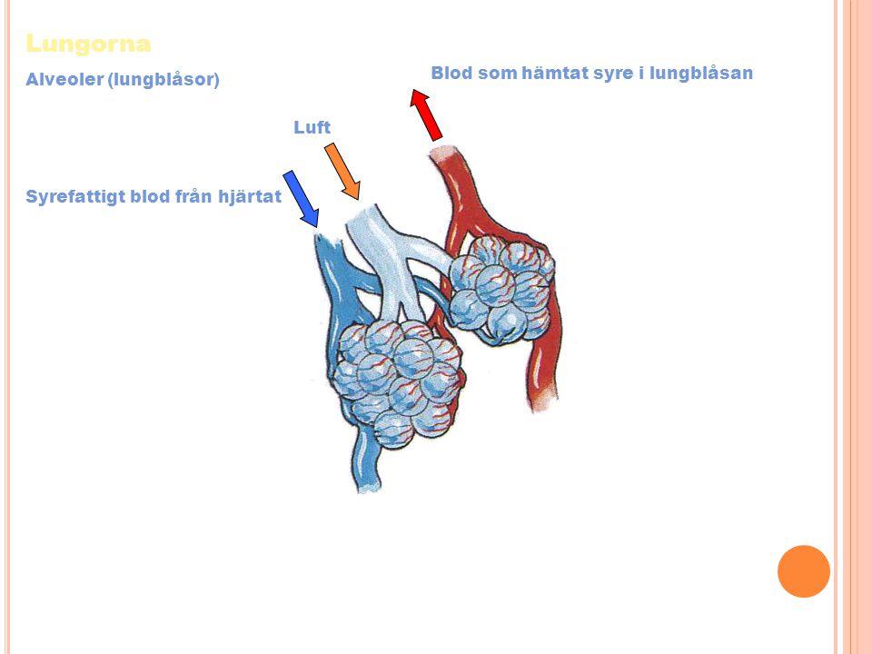 Lungorna Blod som hämtat syre i lungblåsan Alveoler (lungblåsor) Luft