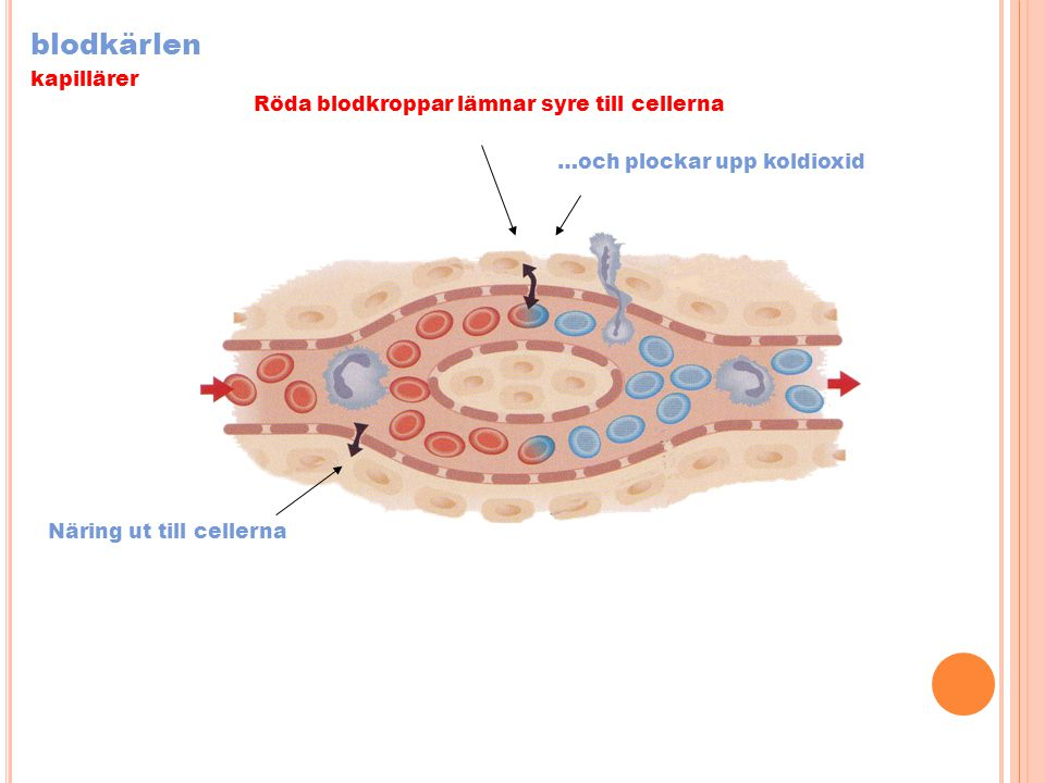 blodkärlen kapillärer Röda blodkroppar lämnar syre till cellerna