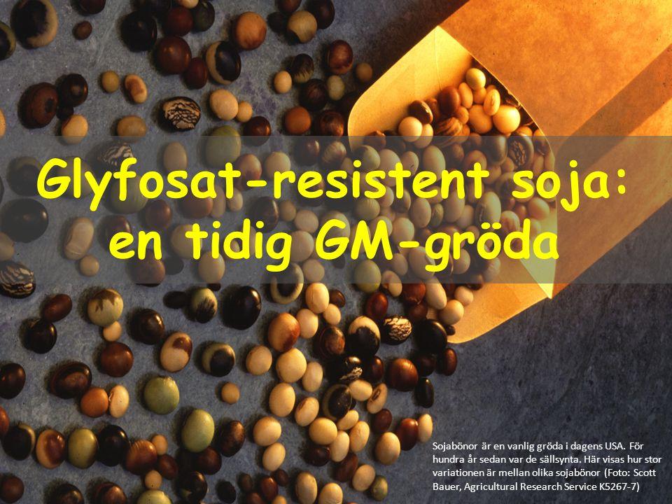 Glyfosat-resistent soja: en tidig GM-gröda
