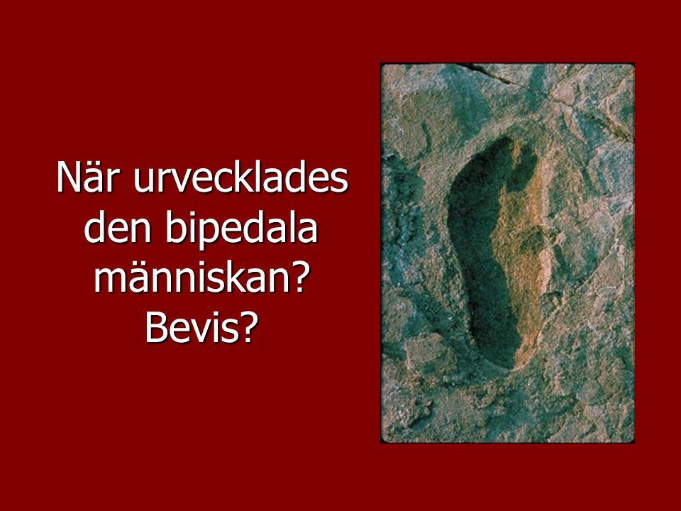 När urvecklades den bipedala människan Bevis