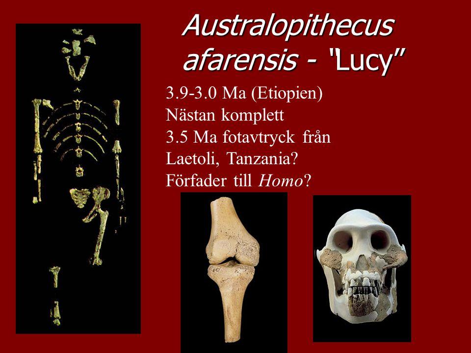 Australopithecus afarensis - Lucy
