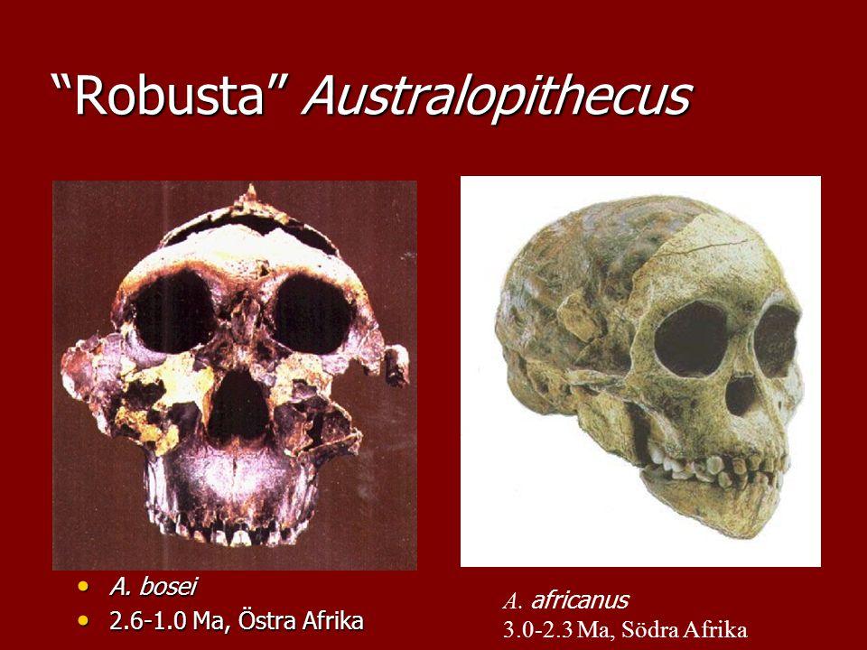 Robusta Australopithecus