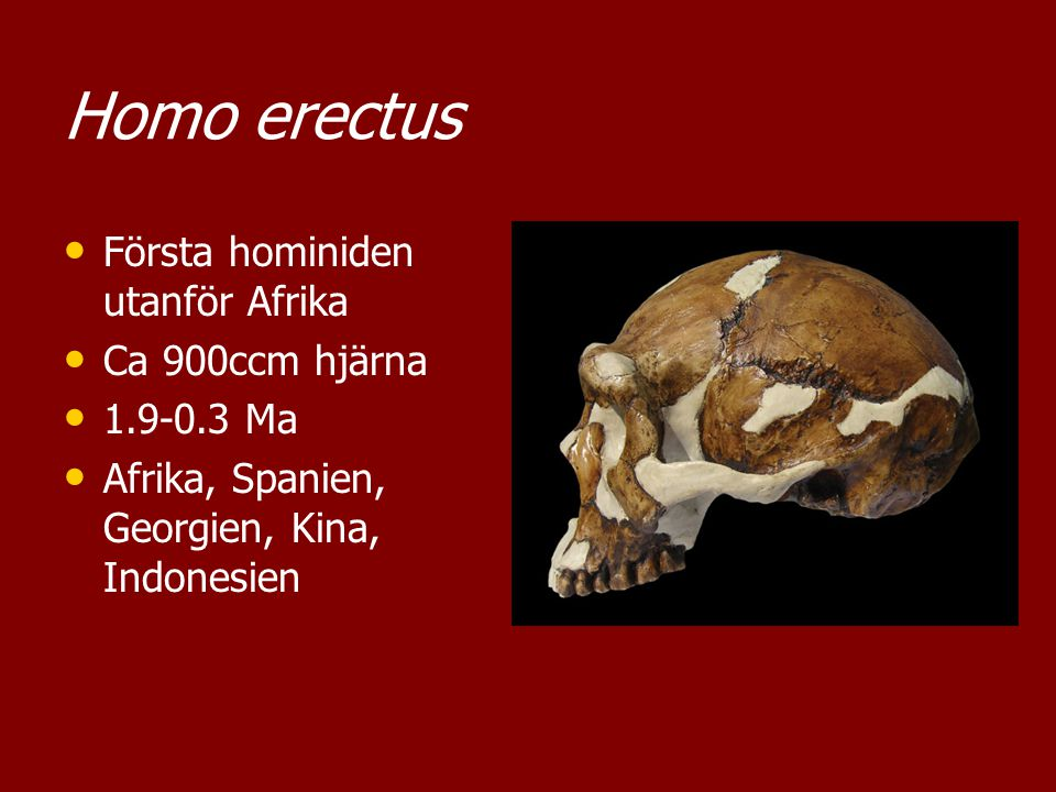 Homo erectus Första hominiden utanför Afrika Ca 900ccm hjärna