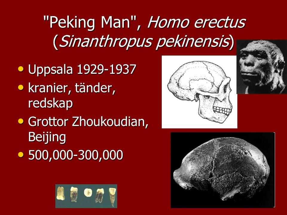 Peking Man , Homo erectus (Sinanthropus pekinensis)