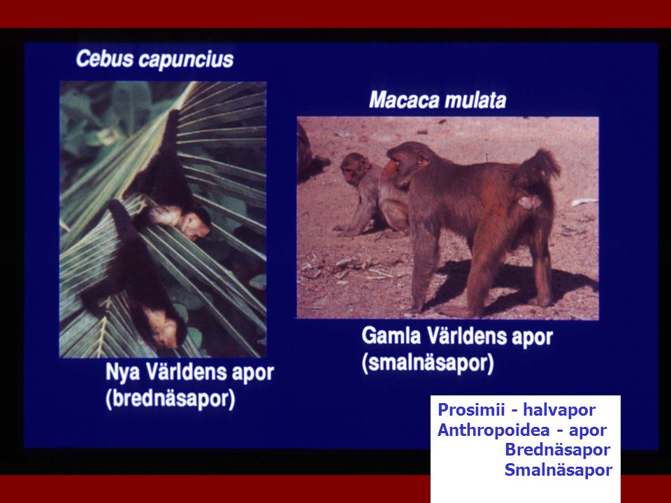 Prosimii - halvapor Anthropoidea - apor Brednäsapor Smalnäsapor