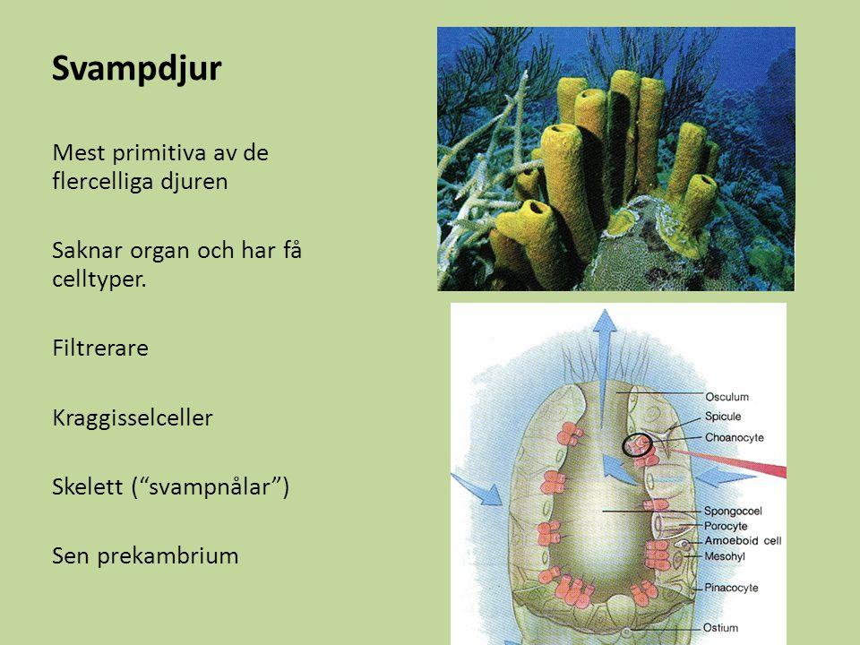 Svampdjur Mest primitiva av de flercelliga djuren