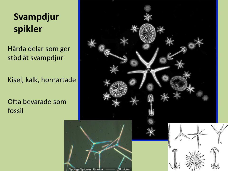 Svampdjur spikler Hårda delar som ger stöd åt svampdjur
