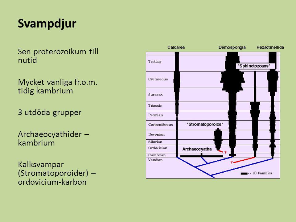 Svampdjur Sen proterozoikum till nutid