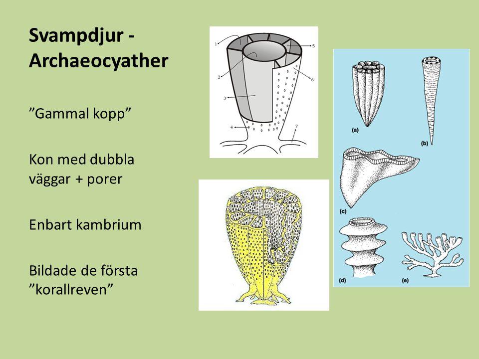 Svampdjur - Archaeocyather