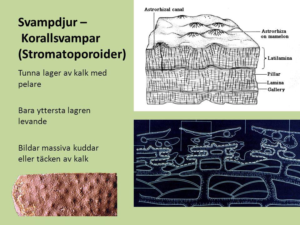 Svampdjur – Korallsvampar (Stromatoporoider)