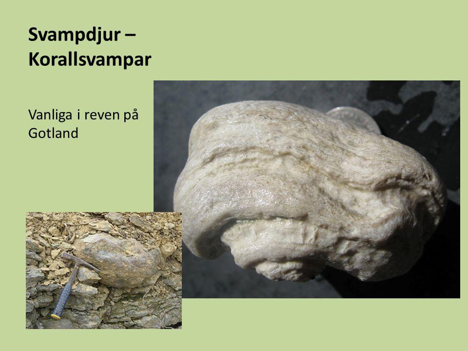 Svampdjur – Korallsvampar