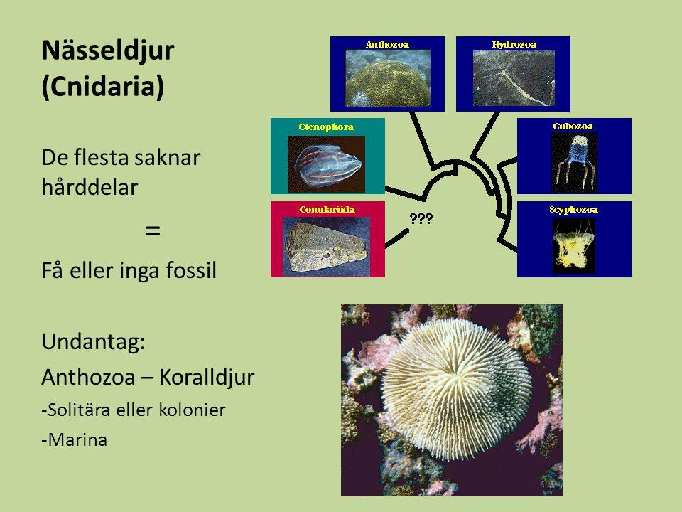 Nässeldjur (Cnidaria)