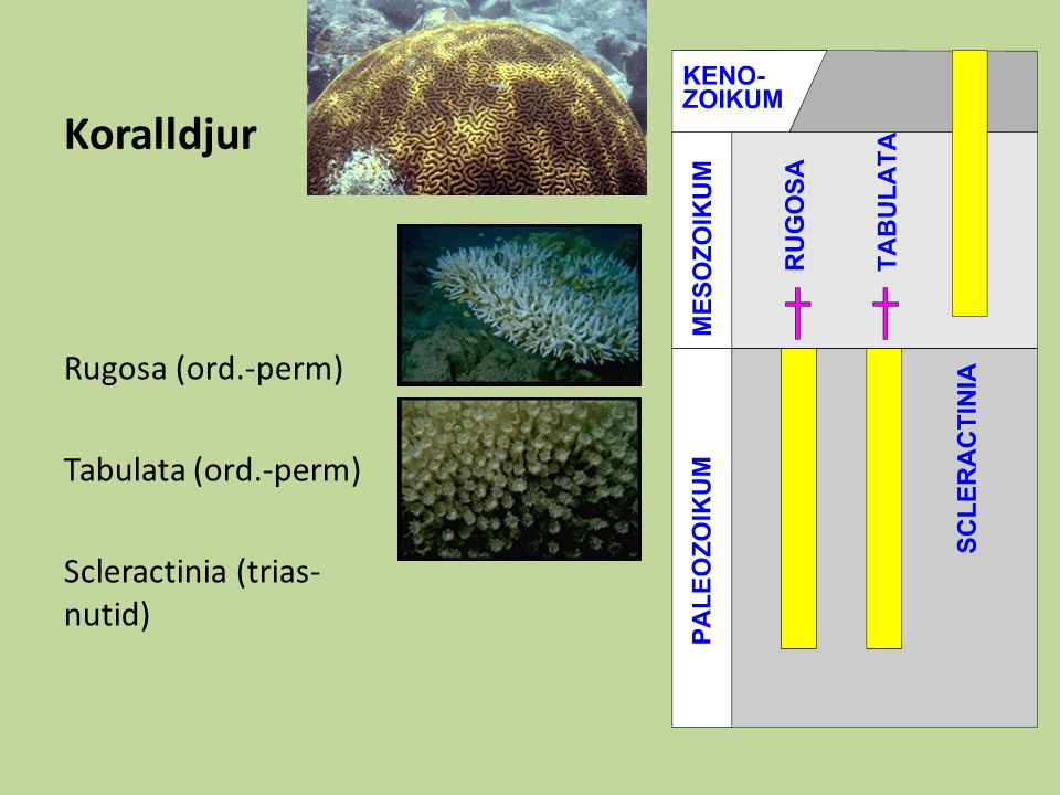 Koralldjur Rugosa (ord.-perm) Tabulata (ord.-perm)