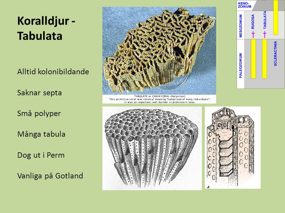 Koralldjur - Tabulata Alltid kolonibildande Saknar septa Små polyper