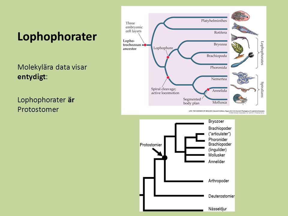 Lophophorater Molekylära data visar entydigt: