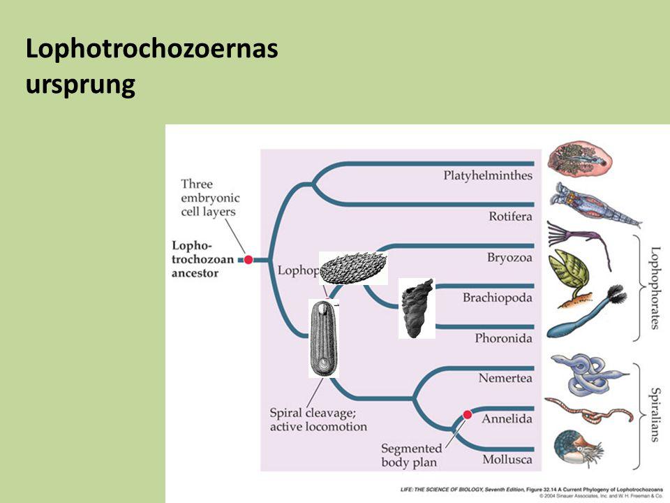 Lophotrochozoernas ursprung