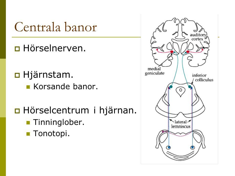 Centrala banor Hörselnerven. Hjärnstam. Hörselcentrum i hjärnan.